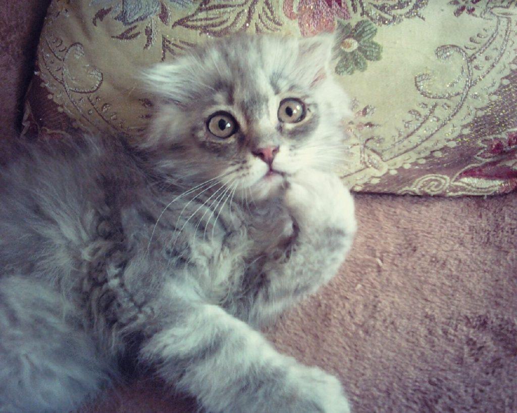 Котенок породы хайленд фолд